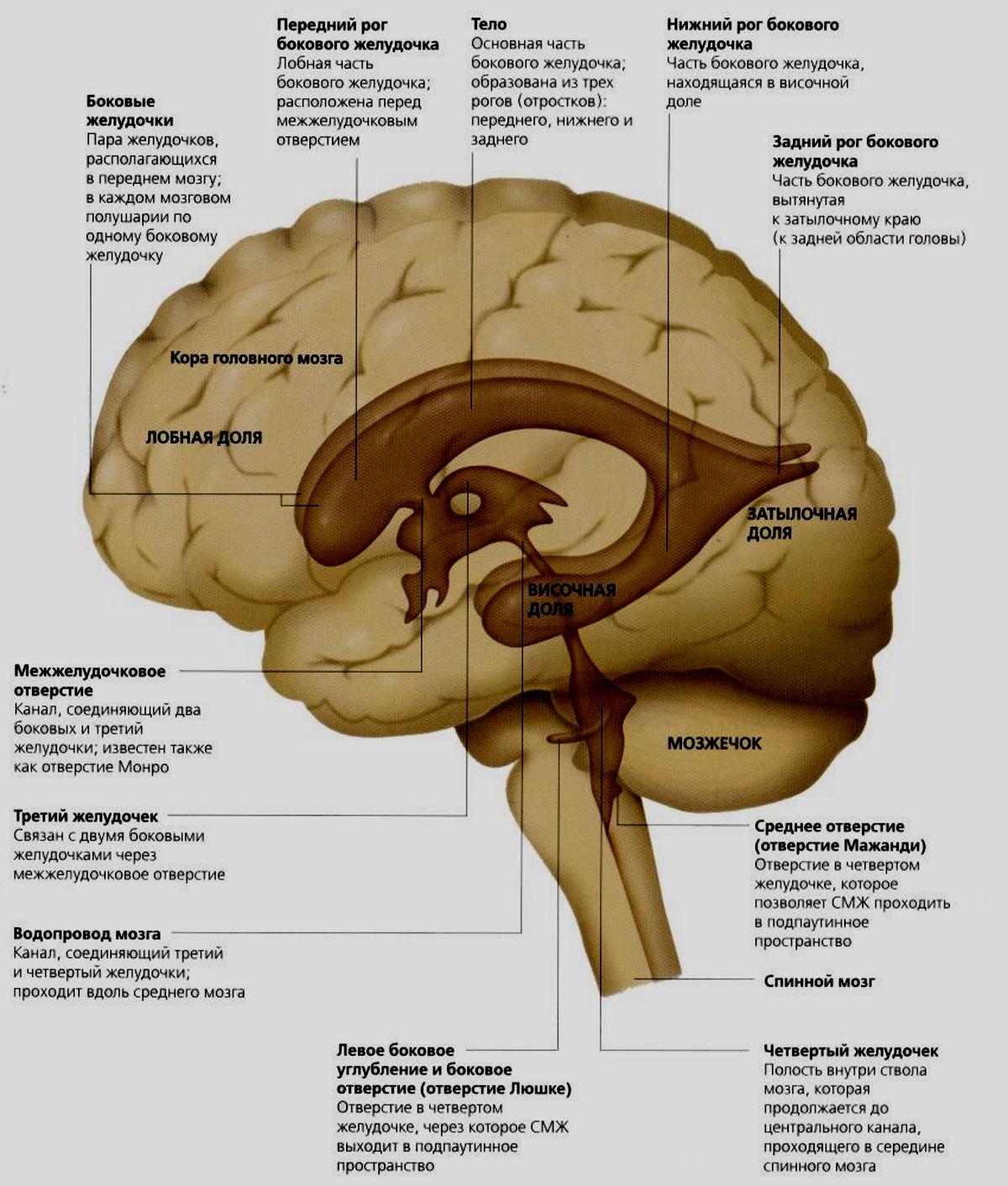 Строение системы желудочков